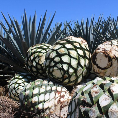 The Agave Piñas at La Alteña Distillery ready for the oven