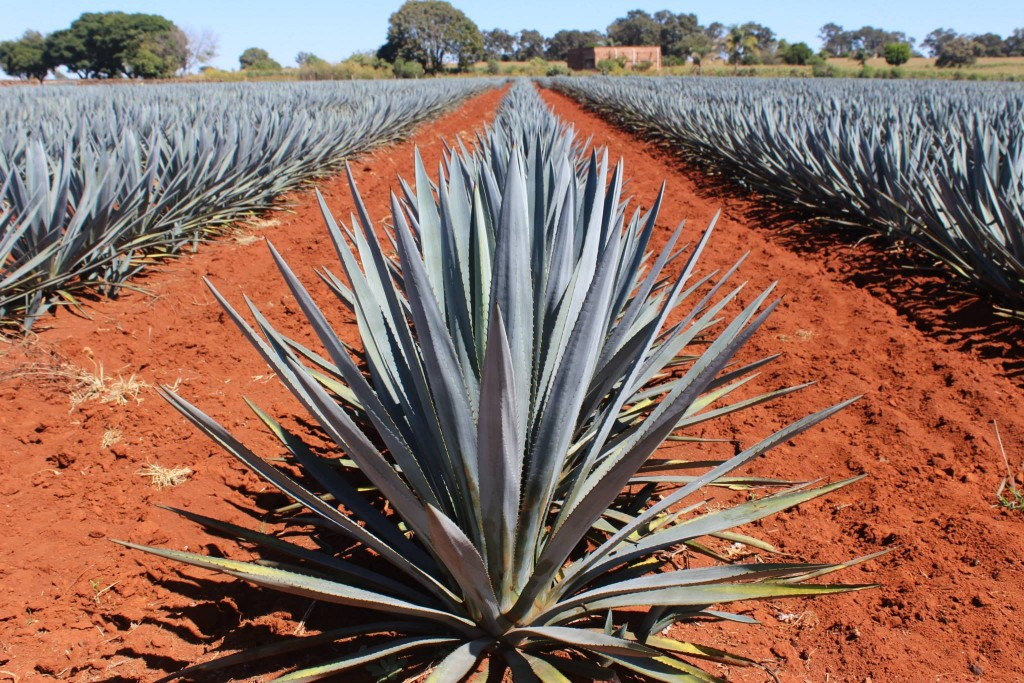 'The blue agave plant is actually a succulent (and not a cactus as many think)