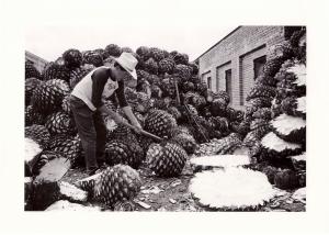 Halving the piñas by hand at Distileria La Alteña