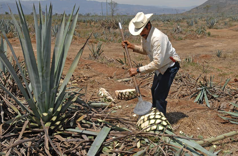 The Jimador harvesting the agave plant cutting away the outer leaves