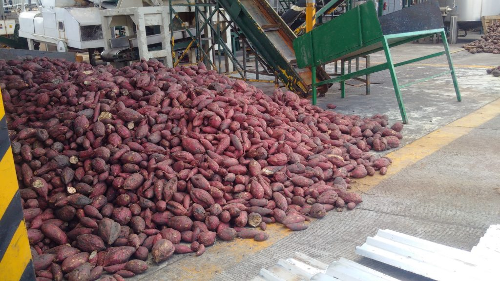 Agave Syrup producers using alternatives such as sweet potatoes creating new products such as Miel de camote